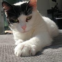 Adopt A Pet :: Cleopatra - Toronto, ON