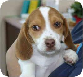 Beagle/Basset Hound Mix Puppy for adoption in Greensboro, Georgia - Tom