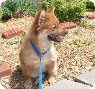 Pomeranian Mix Dog for adoption in Edwardsville, Illinois - Bailey