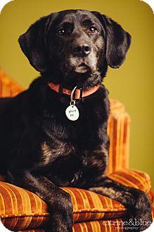 Labrador Retriever/Plott Hound Mix Dog for adoption in Portland, Oregon - Sammy