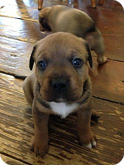 Corgi/Shepherd (Unknown Type) Mix Puppy for adoption in Wappingers, New York - Delta