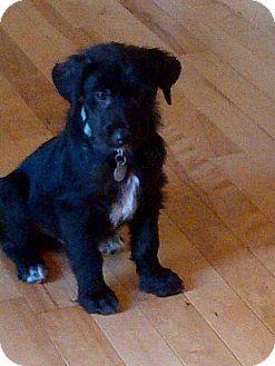 Labrador Retriever/Retriever (Unknown Type) Mix Puppy for adoption in Homewood, Alabama - Benito