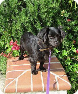 Dachshund Mix Dog for adoption in El Cajon, California - sadie