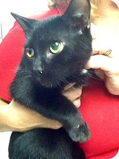 Domestic Shorthair Kitten for adoption in Webster, Massachusetts - Lanzo