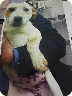Cattle Dog Mix Puppy for adoption in East Hartford, Connecticut - Gidget in CT