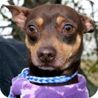Chihuahua/Dachshund Mix Dog for adoption in San Leon, Texas - Archie