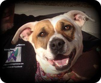 Shepherd (Unknown Type)/Retriever (Unknown Type) Mix Dog for adoption in Denver, North Carolina - Sissy Girl