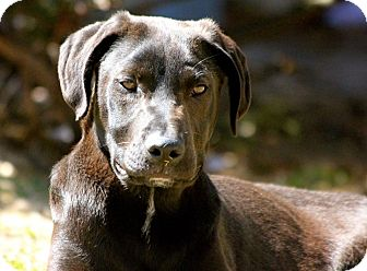 Labrador Retriever Mix Dog for adoption in Williston, Vermont - Avalanche