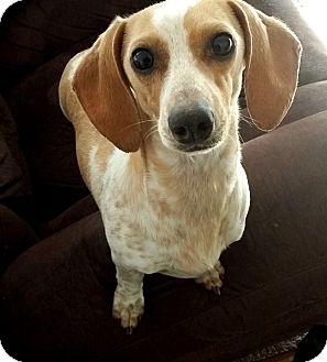 Dachshund Dog for adoption in Decatur, Georgia - Abby