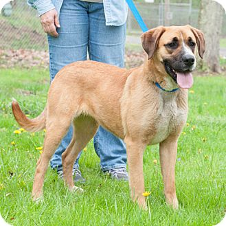 Great Dane/German Shepherd Dog Mix Dog for adoption in New Martinsville, West Virginia - Lark