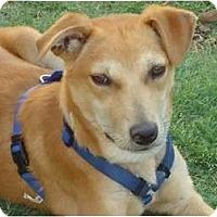 Adopt A Pet :: Foxy - Arlington, TX