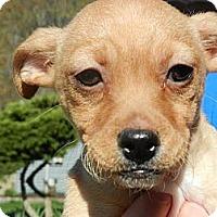 Adopt A Pet :: Lulu - South Jersey, NJ