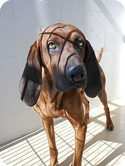 Hound (Unknown Type) Dog for adoption in Price, Utah - Copper