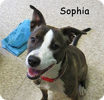 Boxer/Labrador Retriever Mix Dog for adoption in Warren, Pennsylvania - Sophia