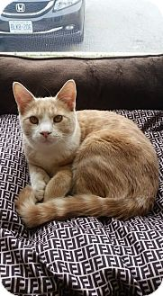 Domestic Mediumhair Cat for adoption in THORNHILL, Ontario - NIGEL