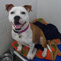 Pit Bull Terrier Mix Dog for adoption in Westminster, Maryland - Emilee