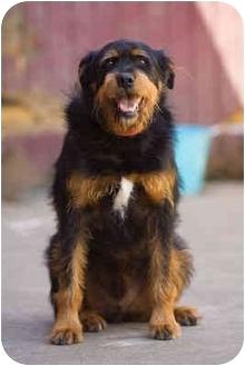 Rottweiler/Irish Wolfhound Mix Dog for adoption in Portland, Oregon - Angus