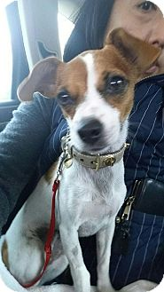 Jack Russell Terrier Mix Dog for adoption in Brooklyn, New York - Ravishing Ruby