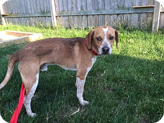 Beagle Mix Dog for adoption in St. Catharines, Ontario - Jake