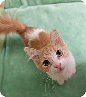 Domestic Mediumhair Kitten for adoption in Phoenix, Arizona - Ziggy