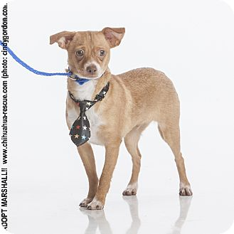 Chihuahua Mix Dog for adoption in Dallas, Texas - Marshall