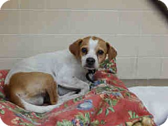 Beagle/Chihuahua Mix Dog for adoption in Litchfield Park, Arizona - ON EUTHANASIA LIST - Only $25!