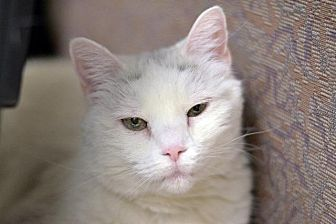 Domestic Shorthair Cat for adoption in Park City, Utah - Dessie