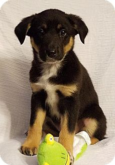 German Shepherd Dog/Great Pyrenees Mix Puppy for adoption in Elkton, Maryland - Genie