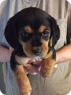 Chihuahua Mix Puppy for adoption in WESTMINSTER, Maryland - Shirley