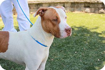 Pit Bull Terrier Mix Dog for adoption in Greensboro, North Carolina - Frodo
