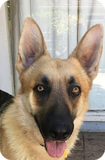 German Shepherd Dog Mix Dog for adoption in Walnut Creek, California - Aero