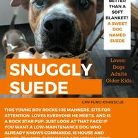 Adopt A Pet :: Suede - Lowell, IN