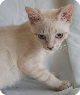 Siamese Kitten for adoption in Staunton, Virginia - Luna