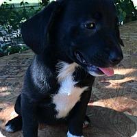Adopt A Pet :: Addilyn - Albany, NY
