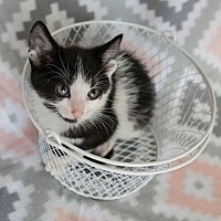 Adopt A Pet :: Sylvester II - Muskegon, MI