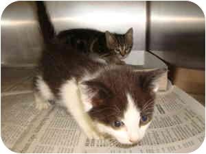 Domestic Shorthair Kitten for adoption in Greenville, North Carolina - 2 kittens