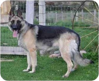 German Shepherd Dog Dog for adoption in Hamilton, Montana - Tessa