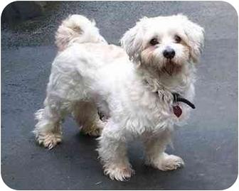 Havanese/Poodle (Miniature) Mix Dog for adoption in Seattle c/o Kingston 98346/ Washington State, Washington - Lenny and Mia