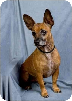 Terrier (Unknown Type, Small) Mix Dog for adoption in Anna, Illinois - SHORTIE