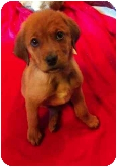 German Shepherd Dog/Golden Retriever Mix Puppy for adoption in Alexandria, Virginia - Teddy Bear
