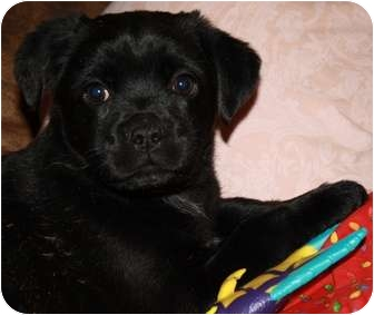 Pug/Jack Russell Terrier Mix Puppy for adoption in Glastonbury, Connecticut - Carlie