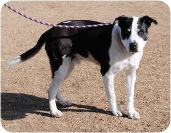American Pit Bull Terrier/Border Collie Mix Dog for adoption in Gardnerville, Nevada - Duke