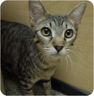 Domestic Shorthair Kitten for adoption in Houston, Texas - Wilbur