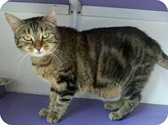 Domestic Shorthair Cat for adoption in Richboro, Pennsylvania - Sarabi