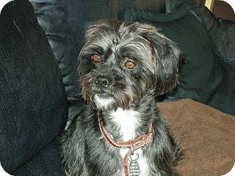 Shih Tzu/Schnauzer (Miniature) Mix Dog for adoption in Las Vegas, Nevada - Markee***