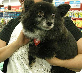 Pomeranian Mix Dog for adoption in Las Vegas, Nevada - Luciano aka Louie***