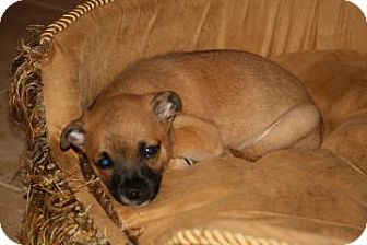 Chihuahua/Pomeranian Mix Puppy for adoption in West Palm Beach, Florida - SYDNEY