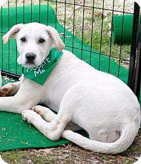 Labrador Retriever/Boxer Mix Puppy for adoption in Huntsville, Alabama - Zack