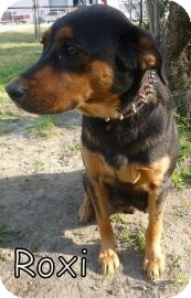 Rottweiler/Shepherd (Unknown Type) Mix Dog for adoption in Georgetown, South Carolina - Roxi