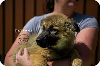 German Shepherd Dog/Collie Mix Puppy for adoption in Burbank, California - Belinda